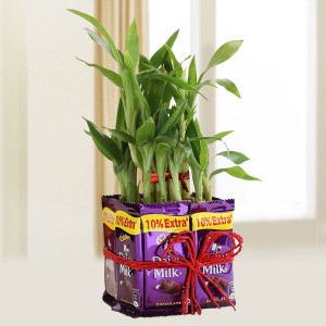 Lucky Bamboo With Dairy Milk
