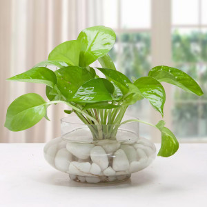 Money Plant Terrarium