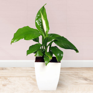 Spathiphyllum Air Purifying Plant