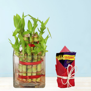 Alluring 2 Layer Lucky Bamboo Plant With Dairy Milk