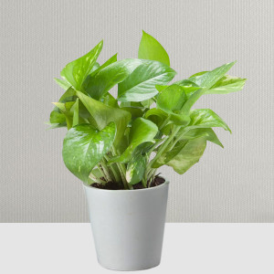 Money Plant for Prosperity